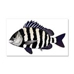Sheepshead porgy Car Magnet 20 x 12
