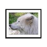White Wolf Framed Panel Print #2