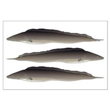 Aba African Knifefish Posters