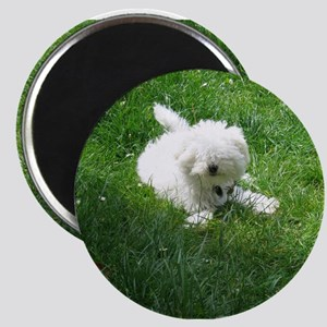 bolognese laying in grass Magnets