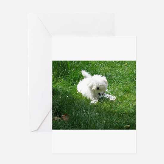 bolognese laying in grass Greeting Cards