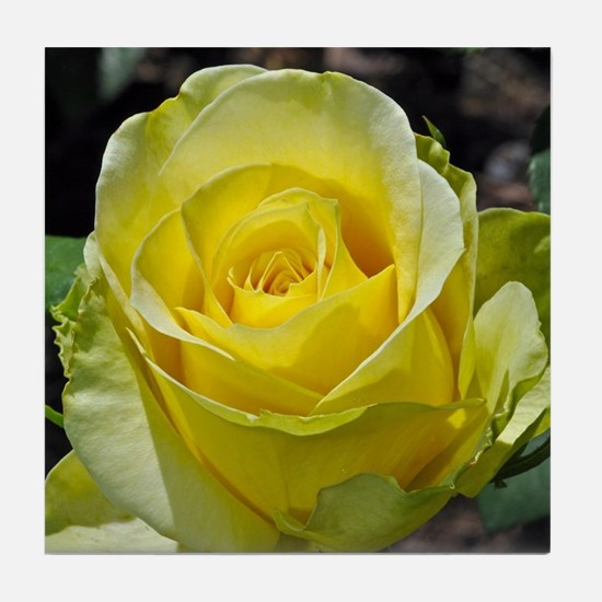 Singe yellow rose in sunlight Tile Coaster
