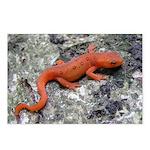 Salamander Postcards (Package of 8)