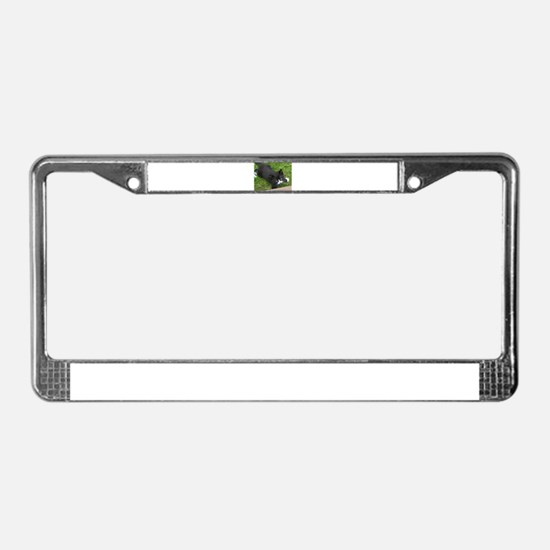 Schubert the playing cat License Plate Frame