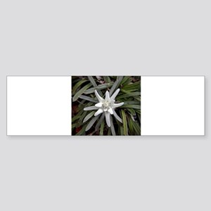 White Alpine Edelweiss Flower Bumper Sticker