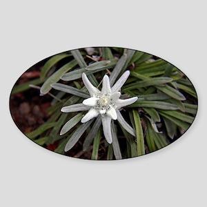White Alpine Edelweiss Flower Sticker