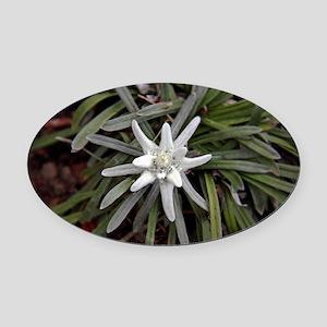 White Alpine Edelweiss Flower Oval Car Magnet