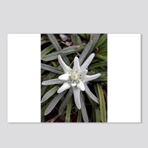 White Alpine Edelweiss Fl Postcards (Package of 8)