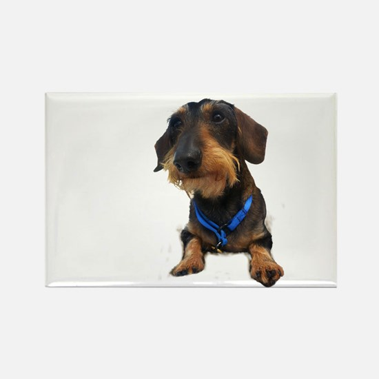 Wirehair Dachshund Rectangle Magnet