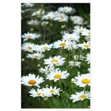 White Daisy Field Poster