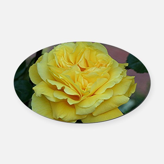 Yellow rose flower in bloom in gar Oval Car Magnet
