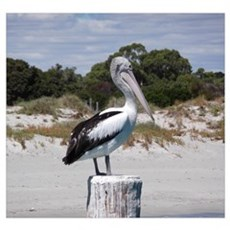 Pelican Standing on Watch Framed Print