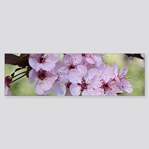 Cherry blossoms in spring time Bumper Sticker
