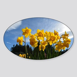 Beautiful yellow daffodil flowers i Sticker (Oval)