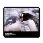 Antarctica, Gentoo Penguins, Mousepad
