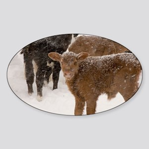 Calves in The Snow Sticker (Oval)