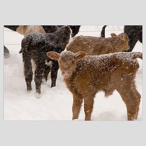 Calves in The Snow