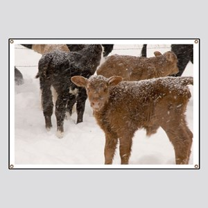 Calves in The Snow Banner