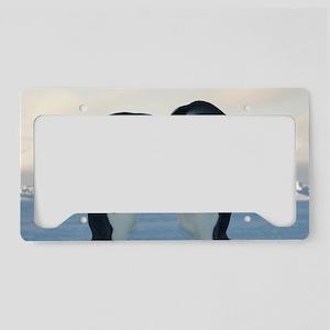 Emperor Penguin Courtship License Plate Holder