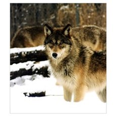 Wolves in The Snow Poster