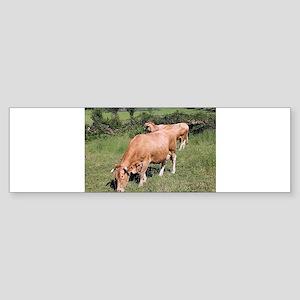 Cows in field on El Camino, Spain Bumper Sticker