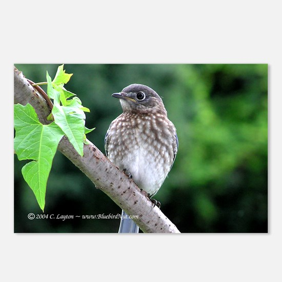 Baby Bluebird Postcards (Package of 8)