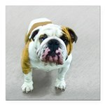 Bulldog Square Car Magnet 3