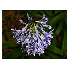 Blue agapanthus flower in bloom in garden Poster