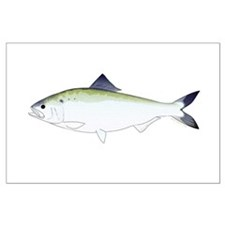 American Shad Posters