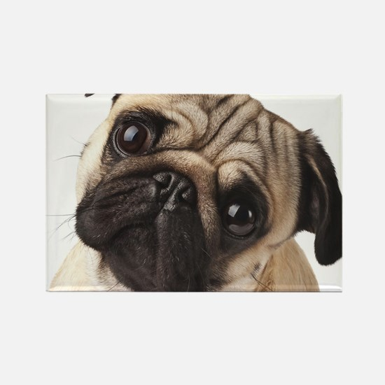 Curious Pug Rectangle Magnet