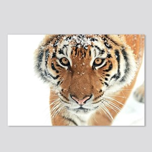 Snow Tiger Postcards (Package of 8)