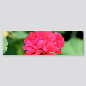 Geranium flower (red) in bloom in g Bumper Sticker