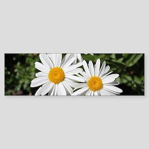 pretty pure white daisy flowers. Bumper Sticker