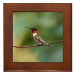 Male Ruby-throated Hummingbird Framed Tile