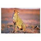 Cheetah Framed Prints