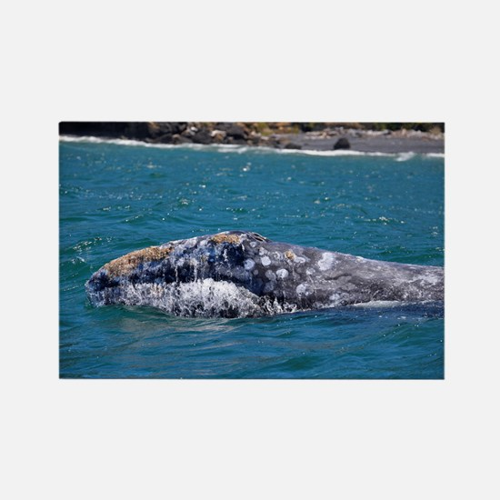 Gray Whale Rectangle Magnet