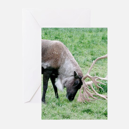 Caribou with Large Antlers Greeting Cards