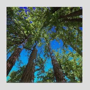 Muir Woods treetops Tile Coaster