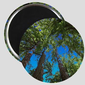 Muir Woods treetops Magnets