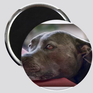 Loving Pitbull Eyes Magnets