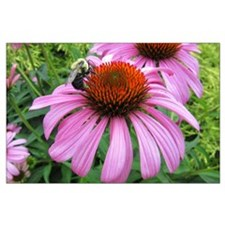 Bumblebee on Purple Illinois Coneflower Posters