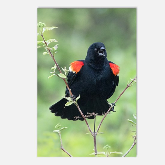 Red-Winged Blackbird Postcards (Package of 8)