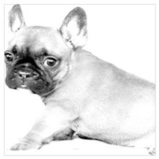 French Bulldog puppy Poster