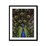 Peacock Framed Panel Print