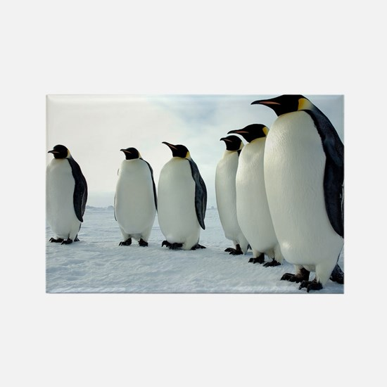 Lined up Emperor Penguins Magnets