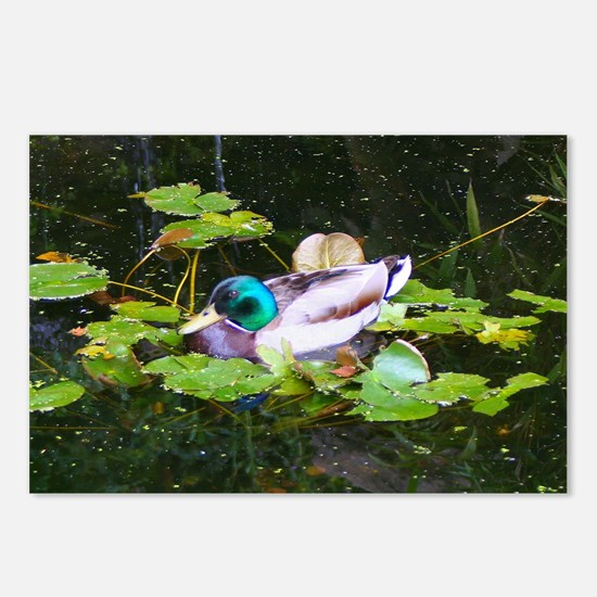 Mallard duck in a pond Postcards (Package of 8)