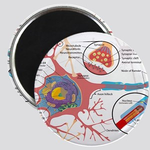 Neuron Cell Diagram Magnets