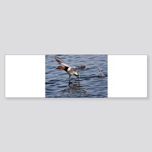 Canvas back taking flight Bumper Sticker