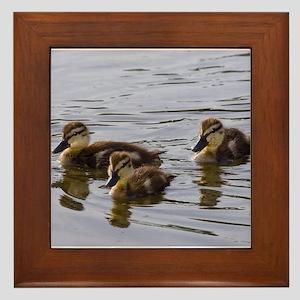 mallard ducklings, Anas platyrhynchos Framed Tile