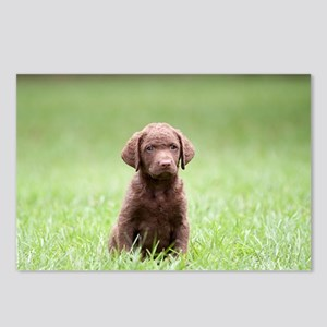 Chesapeake Bay Retriever Puppy Postcards (Package